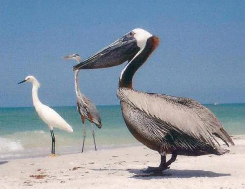 Pelican-and-other-birds